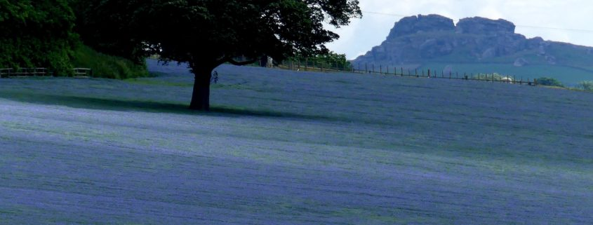 Flax field and Almscliffe Crag