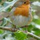 Robin in Holly