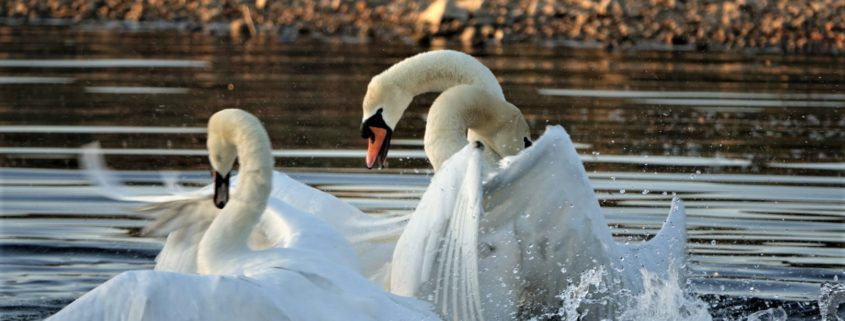 Fighting Swans